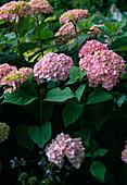 Hydrangea 'Bouquet Rose' / Hortensie, Sorte die durch Alaun
