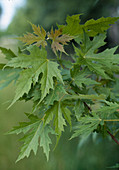 Acer saccharinum 'Wierii'