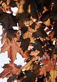 Acer platanoides 'Faasen'S Black'