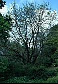 Ailanthus altissima / Götterbaum