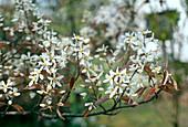 AMELANCHIER CANADENSIS Blüte