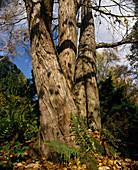 Cercidiphyllum japonicum (Katsurabaum , Kuchenbaum , Lebkuchenbaum)