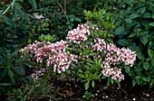 Kalmia latifolia (Lorbeerrose)
