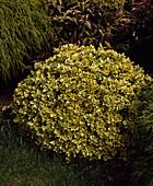 Euonymus fortunei 'Emerald'n Gold' (Spindelstrauch, Kriechspindel)