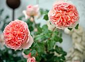Englische Rose 'Abraham Darby' Strauchrose - mehrmals blühend - Duft