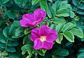 Rosa Rugosa 'Rubra'(Kartoffelrose, Apfelrose), oefterbluehend, guter Duft