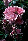Rosa 'Bonica 82', Kleinstrauchrose, Polyantharose, oefterbluehend, leichter Duft, Züchter Meilland
