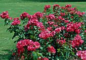 Rosa 'Anne de Bretagne' Strauchrose, öfterblühend, schwach duftend