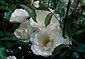 Rosa 'Schneewittchen' - Syn. 'Iceberg' Floribunda, Strauchrose, öfterblühend, zarter Duft