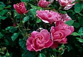 Rosa 'Deborah' Floribundarose, öfterblühend, leichter Duft