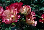 Rose 'Cocorico' - syn. 'Birthday Girl' Floribundarose, Beetrose, öfterblühend, Duft