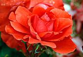 Rosa 'Finale' - syn. 'Ami des Jardins' Floribundarose, niedrige Strauchrose, öfterblühend, kaum duftend