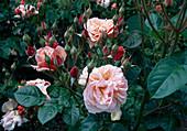 Rosa 'Martin des Senteurs' Floribundarose, Strauchrose, öfterblühend, starker Duft