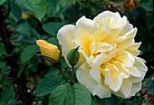Rose 'Rustica' - syn. 'Stadt Basel' (Teehybride) , öfterblühend, zart duftend