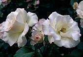 Rose 'Matilda' - syn. 'Charles Aznavour' Floribundarose , öfterblühend, kein Duft