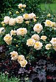 Rosa 'Ambiente' (Noack) / Edelrose mit gutem Duft