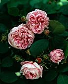 Rosa 'Centifolia major', Hist. Rose, Centifolie, einmalblühend,