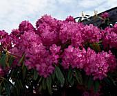 Rhododendron 'August Von Geert'