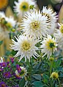 Dahlia 'My Love' / weiße Kaktusdahlie
