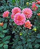Schmuckdahlie 'Gartenkönigin'
