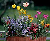 Tulipa,MYOSOTIS sylvatica