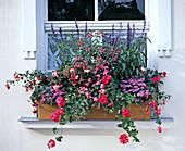 Salvia FARINACEA, IMPATIENS-Hybride, AGERATUM houstonianum