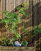 ROBINIA hispida 'MACROPHYLLA', Taxus, COLUTEA ARBORESCENS