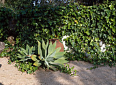 HEDERA HELIX, Agave attenuata