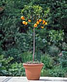 CITRUS aurantium VAR. myrtifolia (beste CITRUS)