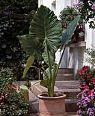 Alocasia 'Calidora' (Elefantenohr)