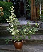 Iboza riparia syn. Tetradenia riparia (Ingwerbusch)