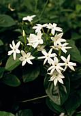 Jasminum sambac (Arabischer Jasmin)
