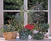 SÜDFENSTER: SEDUM, Aloe, AFFENPALME, Fingeraralie, Kalanchoe