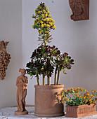 AEONIUM arboreum (Rosettenbäumchen)