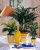 Palmengruppe: CHAMAEDOREA ELEGANS (Berg-