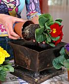 Eisenschale mit Primula acaulis bepflanzen 2.Step