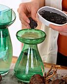 Amaryllis / Hippeastrum auf Wasserglas ziehen. Ein Stück Kohle ins Wasser verhin
