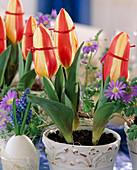 Tulpenblütenköpfe mit Band zubinden, damit sie