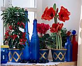 Hippeastrum (Amaryllis), Ardisia (Spitzblume), Cyclamen (Alpenveilchen)