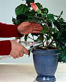 Hibiscus mit Mineralwasserresten gießen