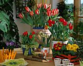 Tulipa 'Czar PETER' (Rot / WEIß) , 'BRILLIANT Star'