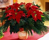 EUPHORBIA PULCHERRIMA / KIEFERNZWEIGE, Weihnachtsstern