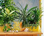 Zimmerpflanzen in Hydrokultur : Dieffenbachia, Dracaena