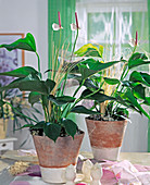 Anthurium-Hybr. (Flamingoblume)