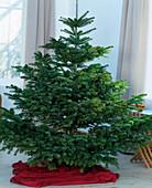 Weihnachtsbaum: Nordmannstanne ungeschmückt, Abies nordmanniana