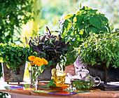 Melissa (lemon balm), Salvia purpurea S. dorisiana)