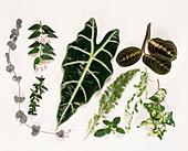 CEROPEGIA,Hoya Bella,Alocasia,Marante,Myrthe,