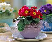 Primula acaulis / Kissenprimel in einer Kaffeetasse