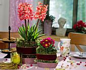 Hyacinthus orientalis / Hyazinthen, Primula / Kissenprimel