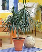 Dracaena marginata / Drachenbaum